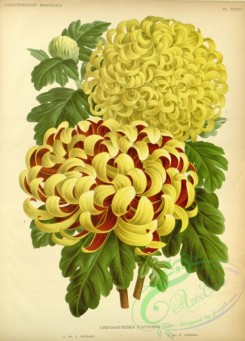 chrysanthemum-00142 - chrysanthemum, 2