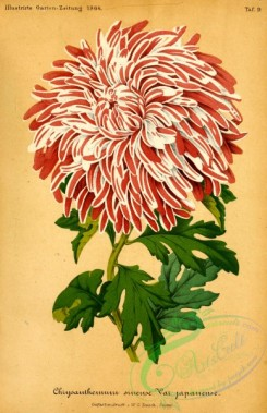 chrysanthemum-00162 - chrysanthemum sinense