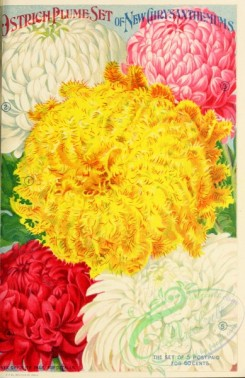 chrysanthemum-00203 - 004-Chrysanthemum