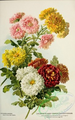 chrysanthemum-00230 - 041-chrysanthemum, bouquets