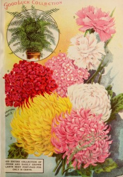 chrysanthemum-00267 - 031-Fern, Chrysanthemum, Carnations