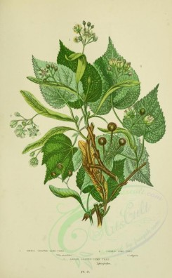 citrus-00013 - 049-Small leaved Lime Tree, Common Lime Tree, Large leaved Lime Tree - tilia parvifolia, tilia vulgaris, tilia platyphyllos [2208x3566]