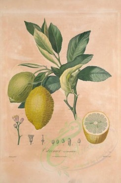 citrus-00024 - Citron, Lemon, Lime [3433x5143]