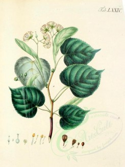 citrus-00038 - 090-Lime, Common or bread leaved Lime, Cred-twigged Lime-Tree [1911x2551]