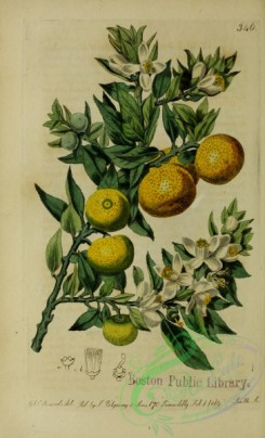 citrus-00678 - Myrtle-leaved Orange-tree, citrus aurantium myrtifolia