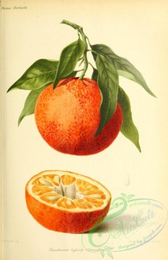 citrus-00683 - Mandarin Orange, citrus reticulata