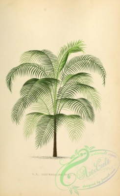 coconut-00002 - cocos weddeliana