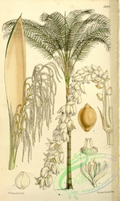 coconut-00013 - 5180-cocos plumosa, Feathery-flowered Cocoa-nut