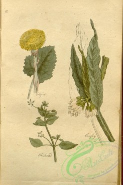 comfrey-00014 - Coltsfoot, Comfrey, Chickweed