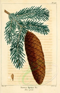 cones-00016 - Norway Spruce Fir (picea abies) [2216x3431]