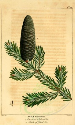 cones-00029 - American silver fir or balm of gilead fir (abies balsamifera) [2199x3625]