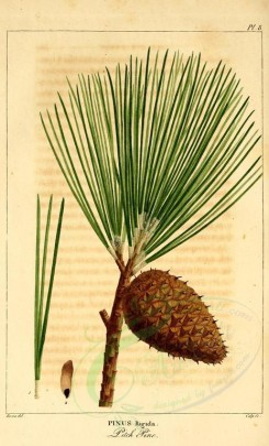 cones-00036 - Pitch pine (pinus rigida) [2199x3625]