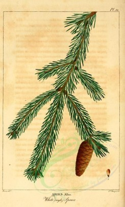 cones-00041 - White single spruce (abies alba) [2199x3625]