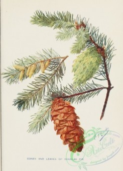 cones-00223 - Cones and leaves of Douglas Fir [1822x2542]