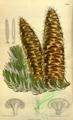 cones-00333 - 8691-abies cephalonica [2158x3507]