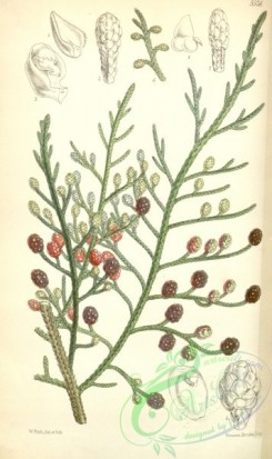 conifer-00001 - 5576-microcachrys tetragona, Strawberry-fruited Cypress [2104x3545]