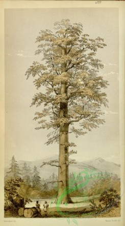 conifer-00012 - 4777-wellingtonia gigantea, Gigantic Wellingtonia [2044x3677]
