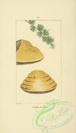 conifer-00014 - Agaric of Larch-Tree [2245x3889]