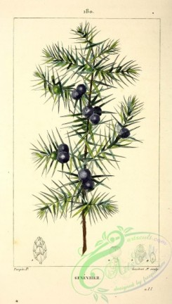 conifer-00019 - Juniper-Tree [2154x3798]