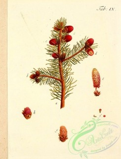 conifer-00025 - 005-Common Fir, Pitch Tree, Spruce Fir [2136x2807]