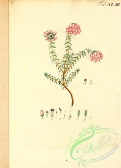 conifer-00027 - 122-Fir leaved Heath [2146x2961]