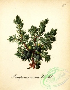 conifer-00030 - juniperus nana [1845x2349]
