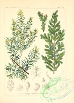 conifer-00035 - juniperus communis [2145x2986]