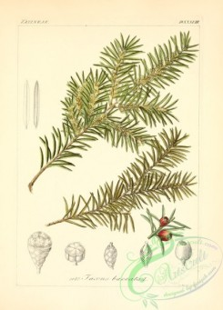 conifer-00039 - taxus baccata [2145x2986]