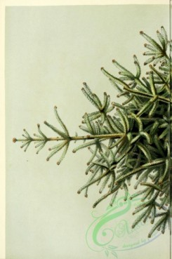 conifer-00040 - abies pinsapo, 1 [1787x2690]