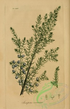 conifer-00042 - juniperus communis [2255x3529]