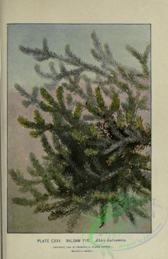 conifer-00045 - Balsam Fir, abies balsamea [2318x3560]