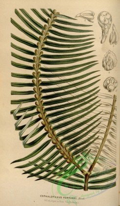 conifer-00050 - cephalotaxus fortunei [2176x3716]