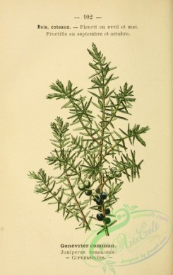 conifer-00052 - juniperus communis [1860x2943]