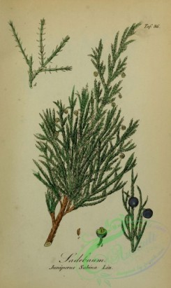 conifer-00058 - juniperus sabina [1873x3131]
