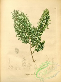 conifer-00060 - thuja andina [4330x5819]