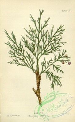 conifer-00069 - juniperus sabina [2194x3577]