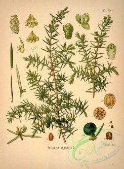conifer-00077 - juniperus communis [2903x3941]