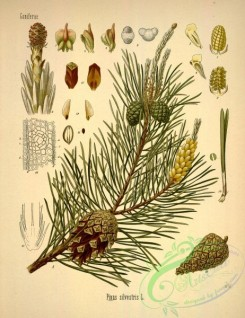 conifer-00079 - pinus sylvestris [2879x3737]