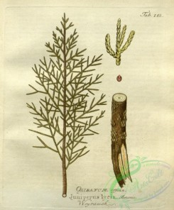conifer-00082 - juniperus lycia [2731x3298]