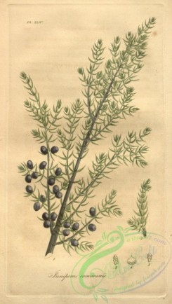 conifer-00088 - juniperus communis [2032x3593]