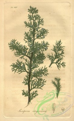 conifer-00089 - juniperus virginiana [2070x3367]