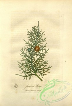 conifer-00098 - juniperus lycia [2623x3845]