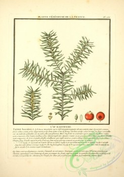 conifer-00104 - taxus baccifera [2305x3290]