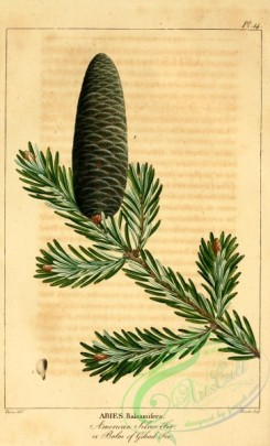 conifer-00105 - American Silver Fir, Balm of Gilead Fir, abies balsamifera [2199x3625]