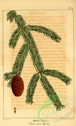 conifer-00106 - Black Spruce, abies nigra [2199x3625]