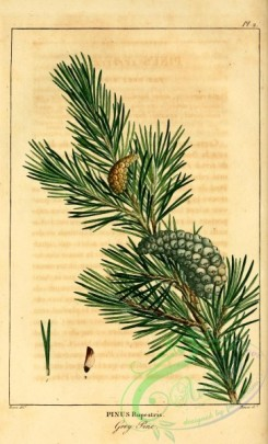 conifer-00107 - Grey Pine, pinus rupestris [2199x3625]