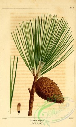 conifer-00112 - Pitch Pine, pinus rigida [2199x3625]