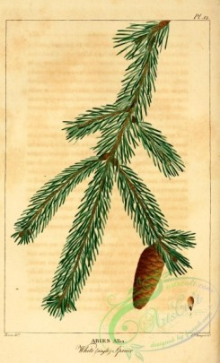 conifer-00117 - White Spruce, abies alba [2199x3625]