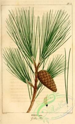 conifer-00118 - Yellow Pine, pinus mitis [2199x3625]