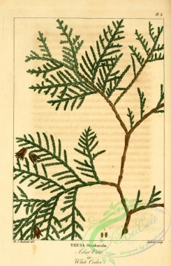 conifer-00119 - Arbor Vitae, White Cedar, thuia occidentalis [2342x3646]